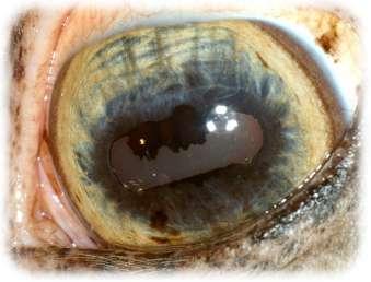 5de6766bb64c Hvordan er Hestens øje opbygget   - Øjendyrlægen