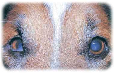 hund røde øjne