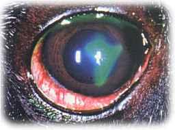 hund rødt øje