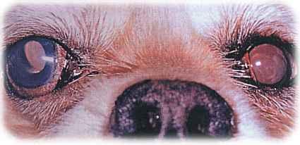 forstørret pupil i det ene øje