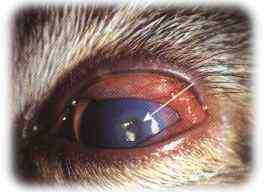 herpes ved øjet