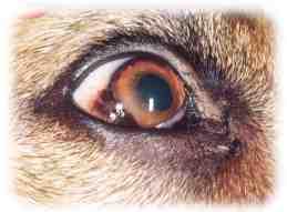 røde øjne hos hunde